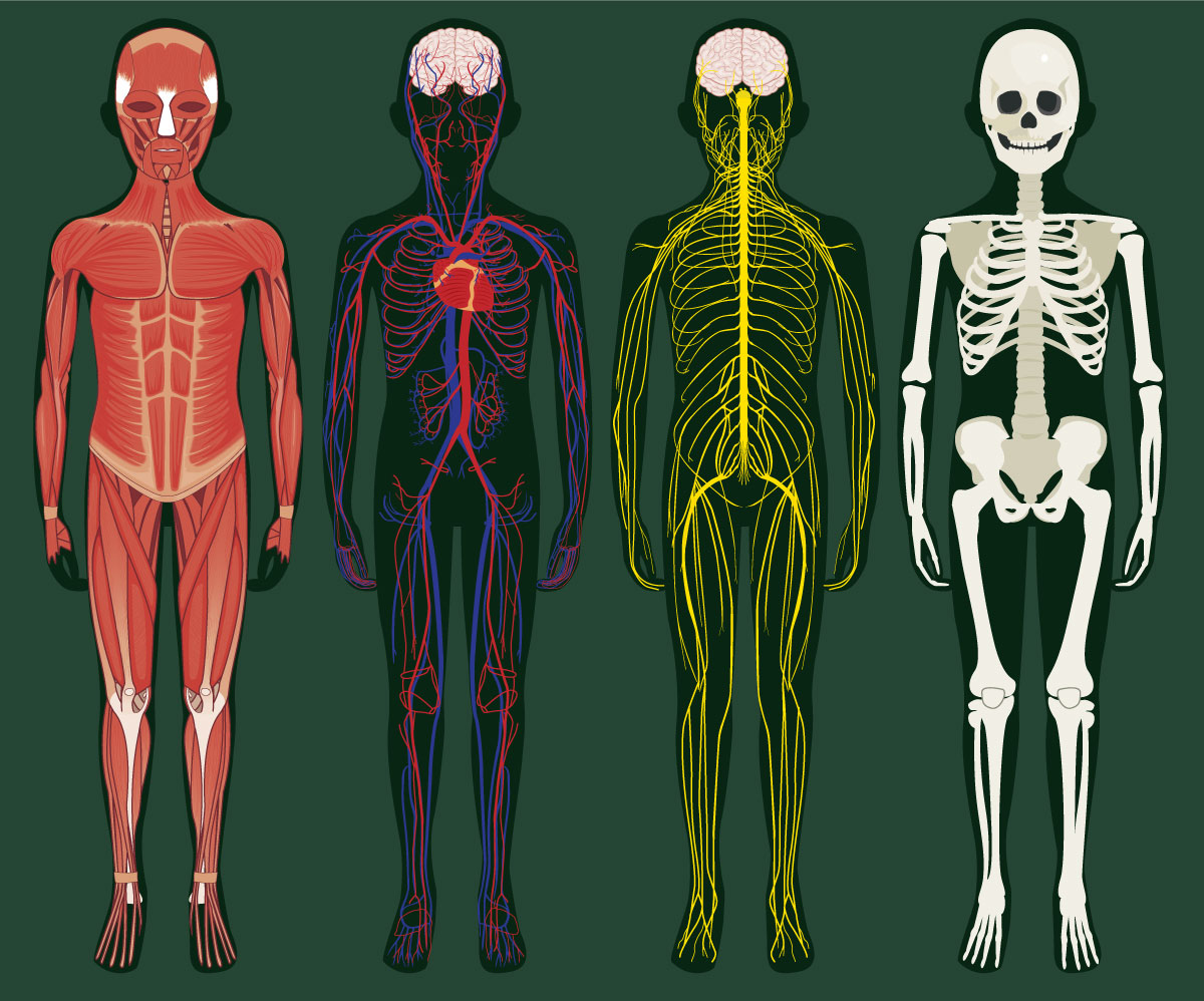 The body of an eight year old, anatomical illustration